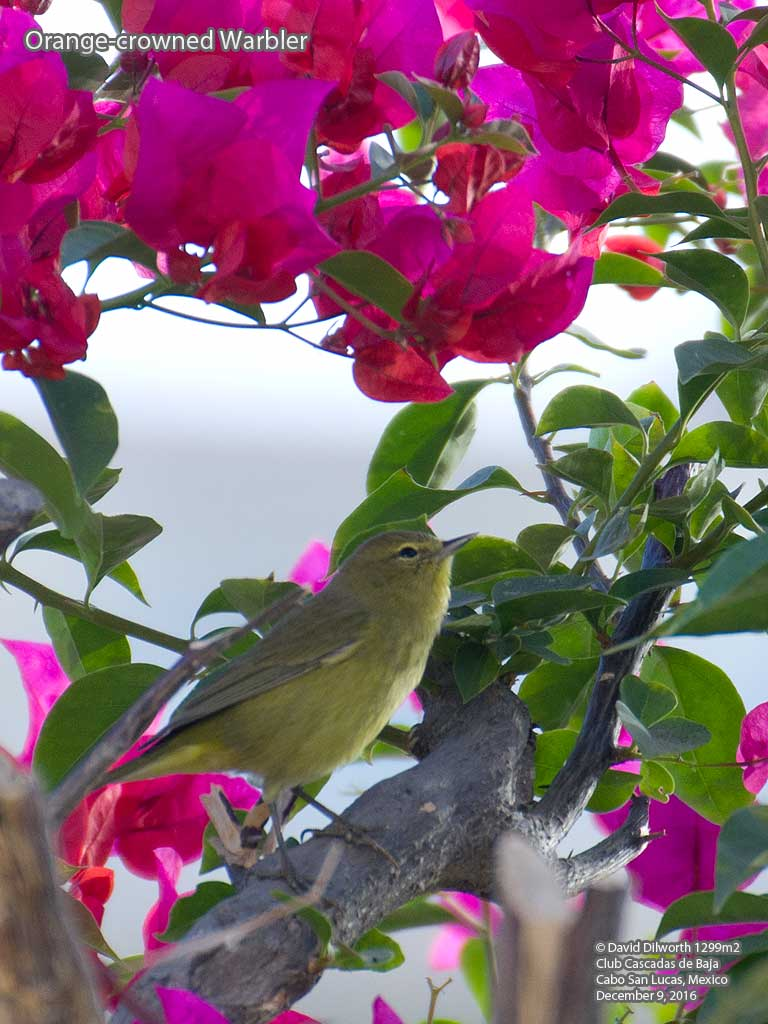 1299m2 Orange-crowned Warbler