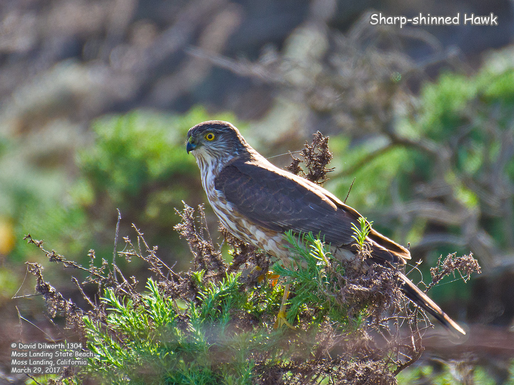 1304 Sharp-shinned Hawk