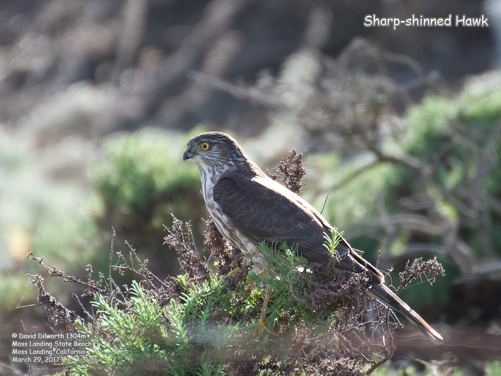 1304m Sharp-shinned Hawk