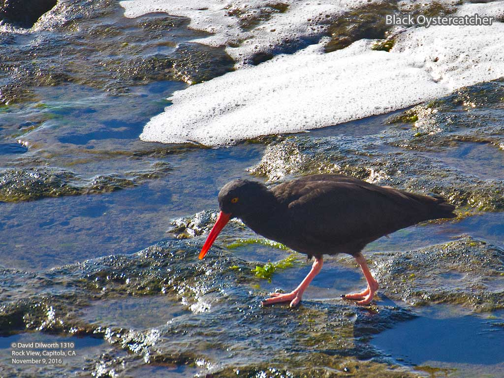 1310 Black Oystercatcher