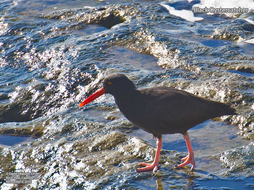 1310m Black Oystercatcher