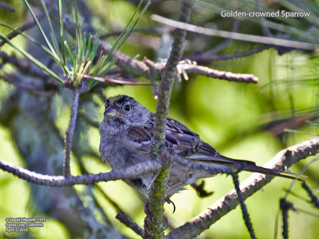 1315 Golden-crowned Sparrow