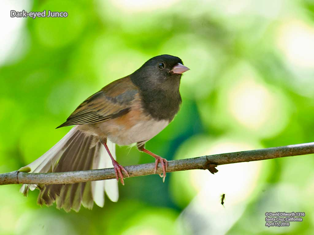 1316 Dark-eyed Junco