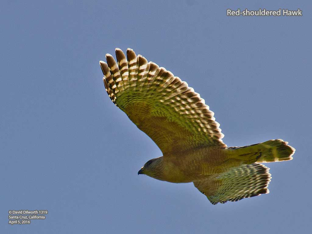 1319 Red-shouldered Hawk