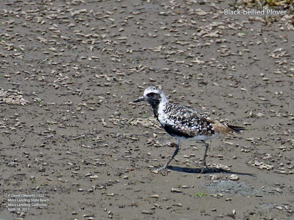 1322 Black-bellied Plover