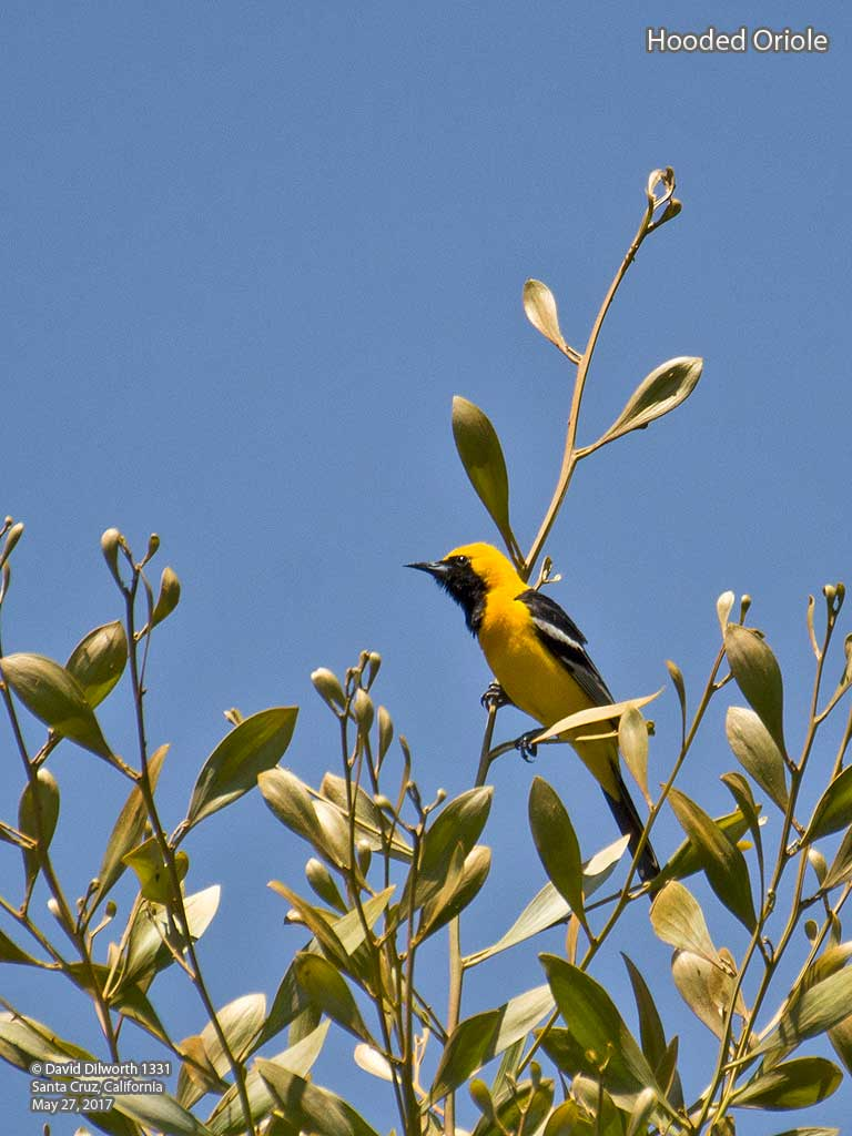 1331 Hooded Oriole