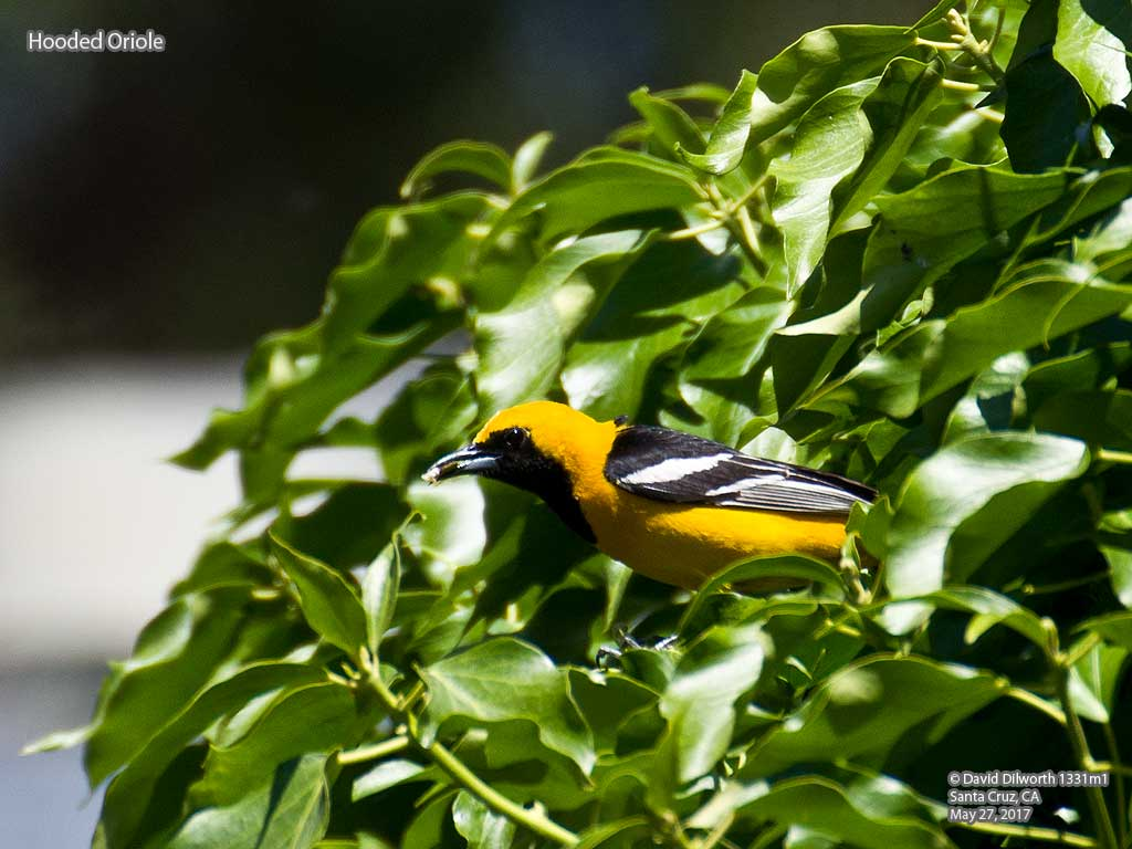 1331m1 Hooded Oriole