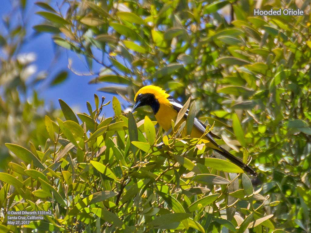1331m2 Hooded Oriole