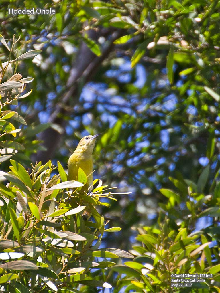 1331m3 Hooded Oriole