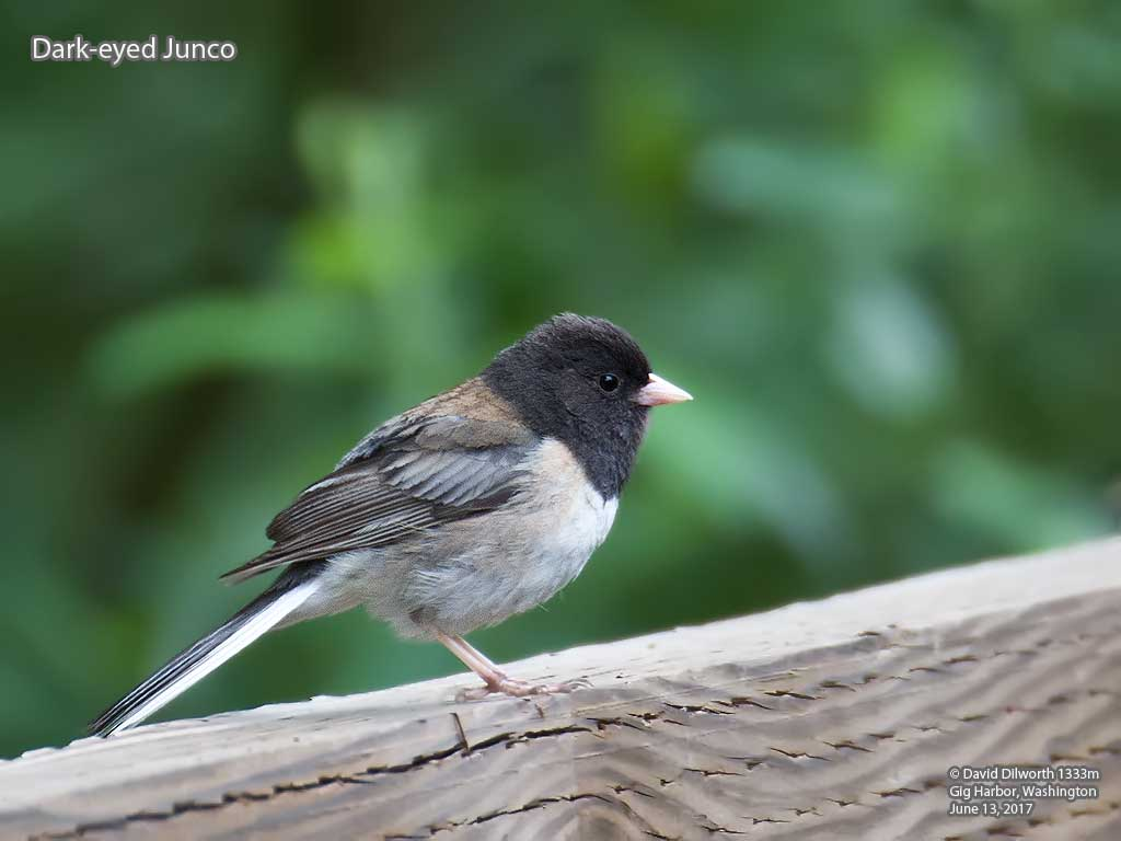 1333m Dark-eyed Junco