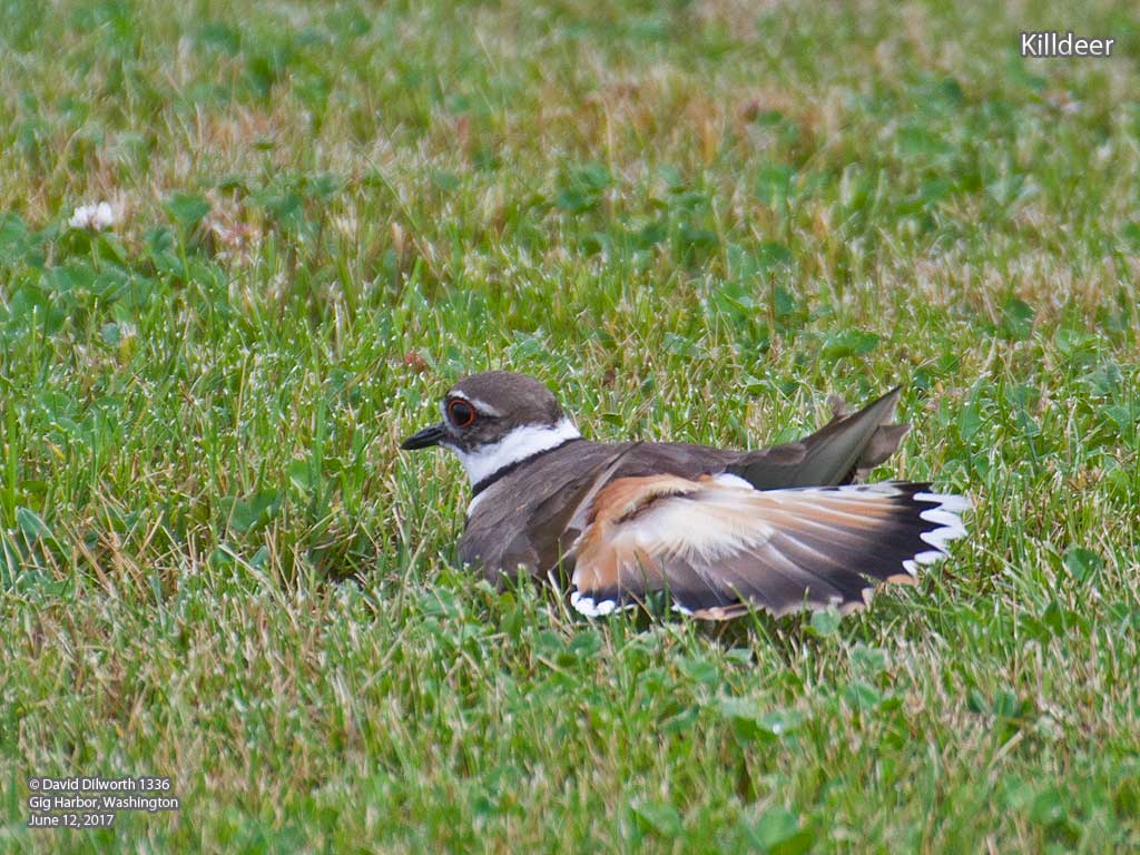 1336 Killdeer