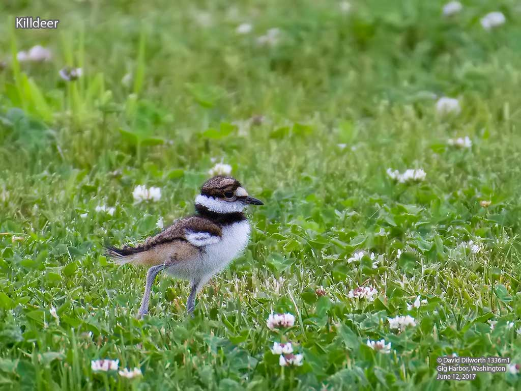 1336m1 Killdeer
