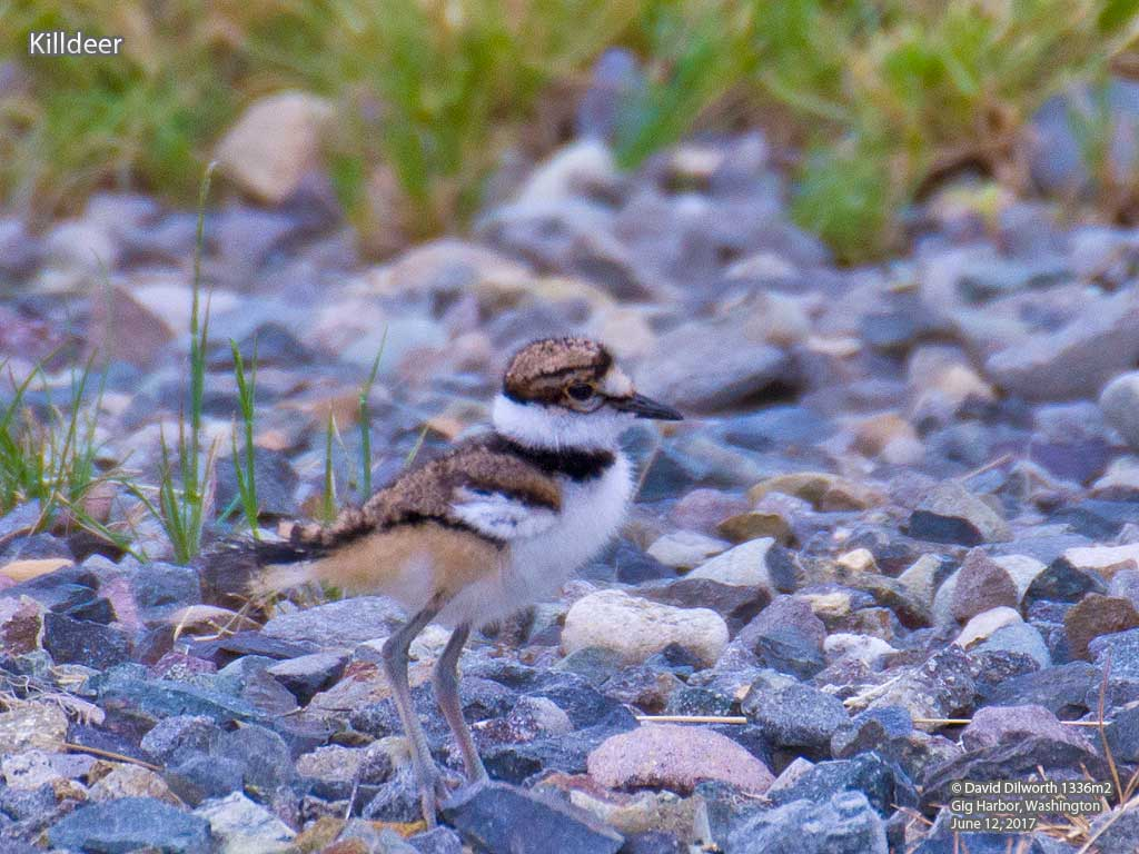 1336m2 Killdeer