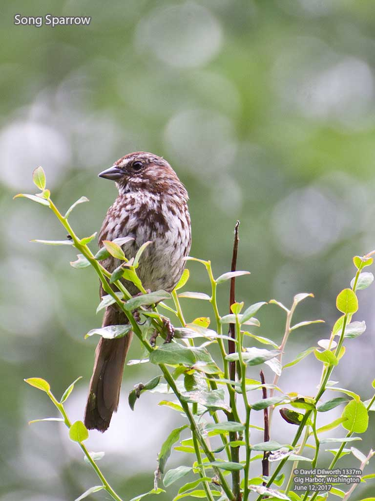 1337m Song Sparrow