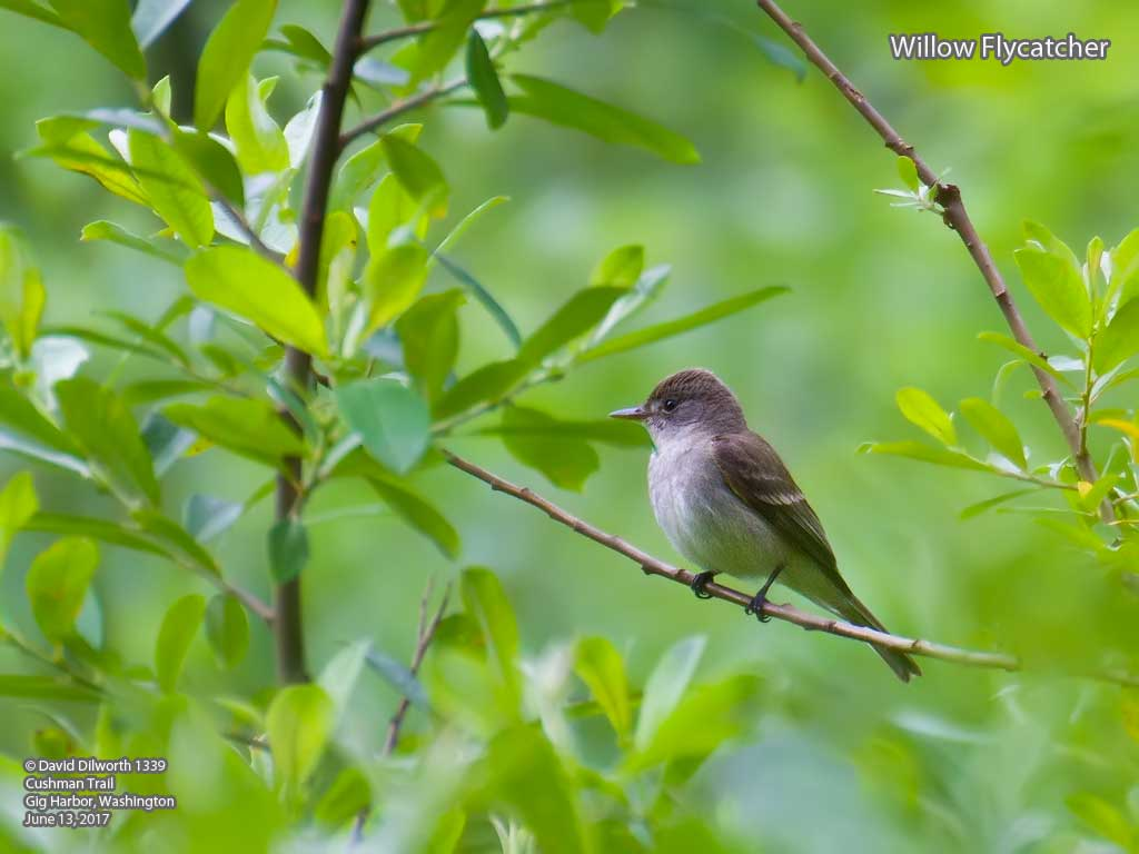 1339 Willow Flycatcher