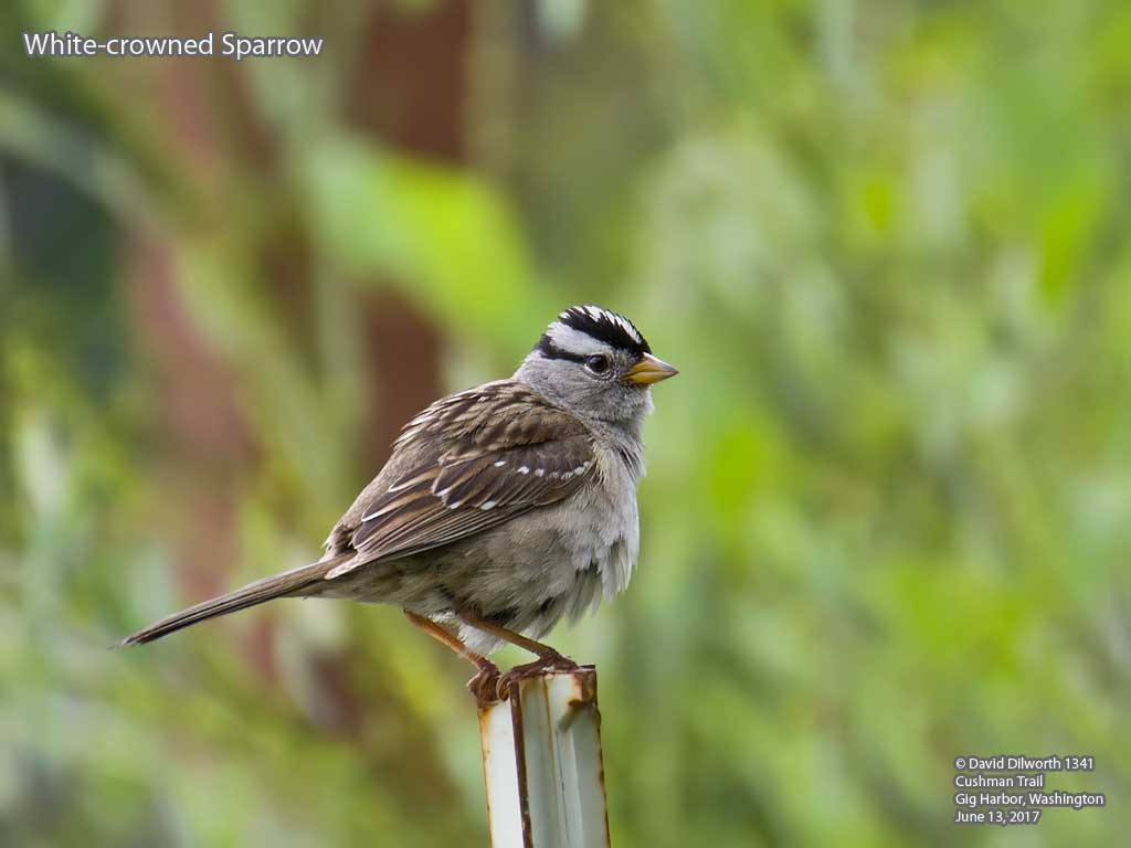 1341 White-crowned Sparrow