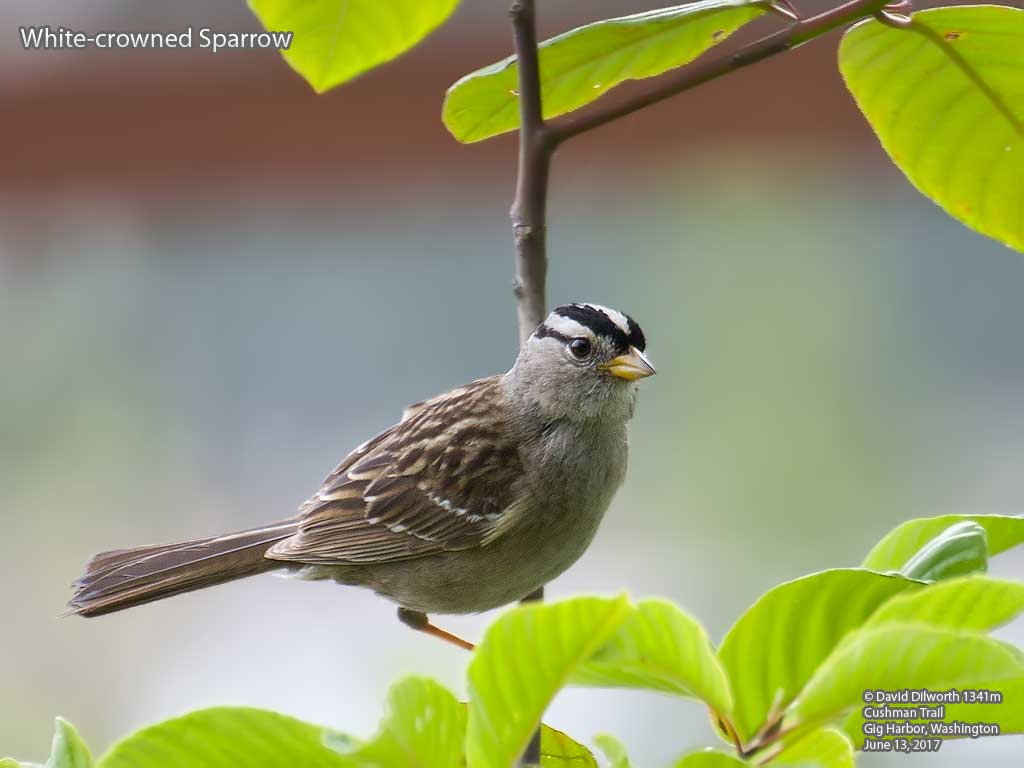 1341m White-crowned Sparrow