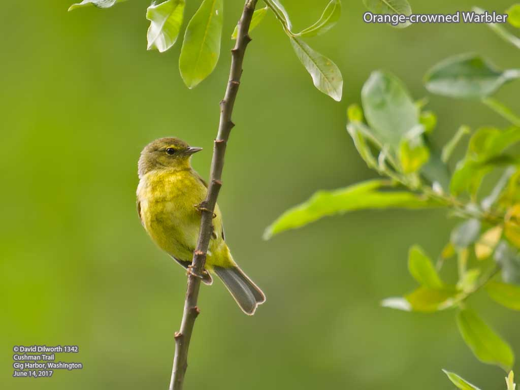 1342 Orange-crowned Warbler