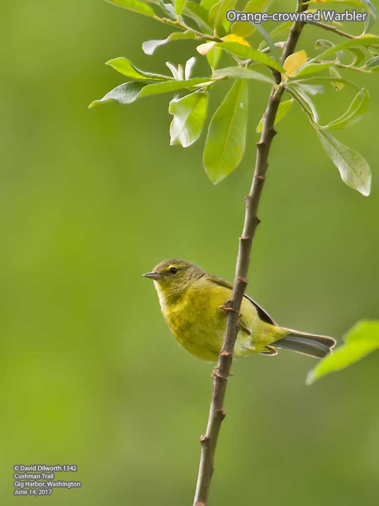 1342m Orange-crowned Warbler
