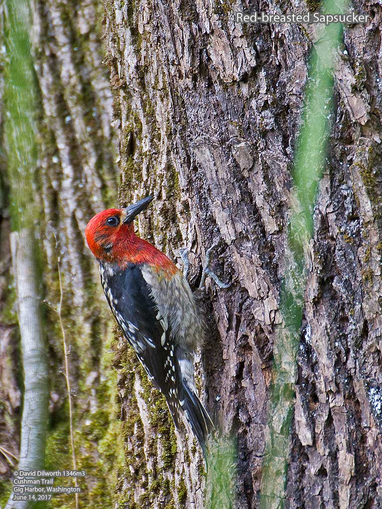 1346m3 Red-breasted Sapsucker
