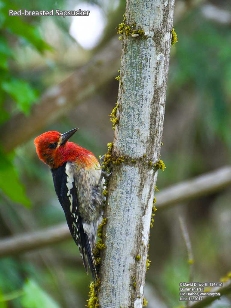 1347m1 Red-breasted Sapsucker