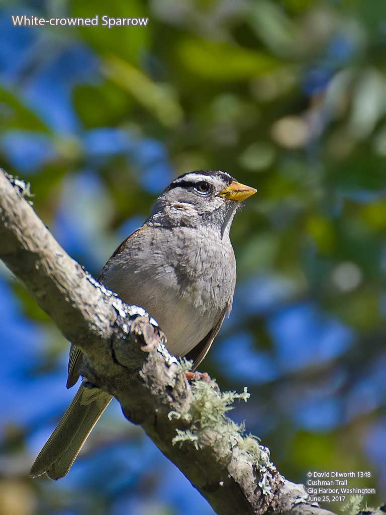 1348 White-crowned Sparrow