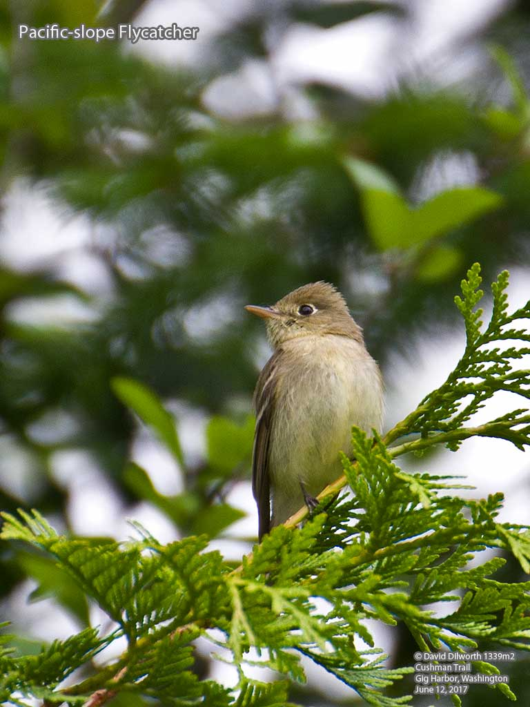 1339m2 Pacific-slope Flycatcher