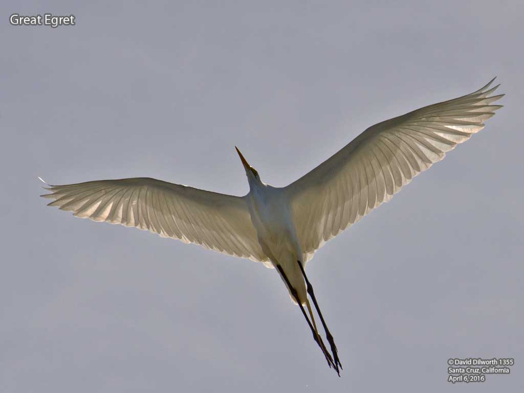 1355 Great Egret