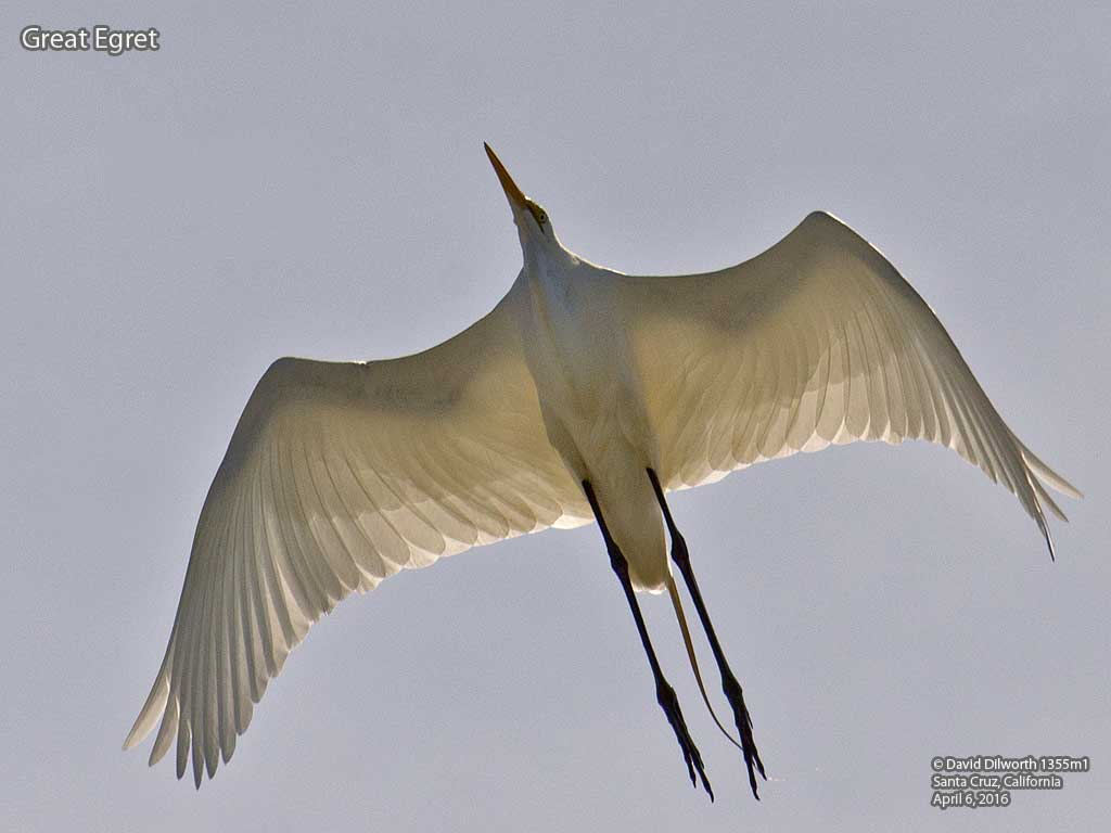 1355m1 Great Egret