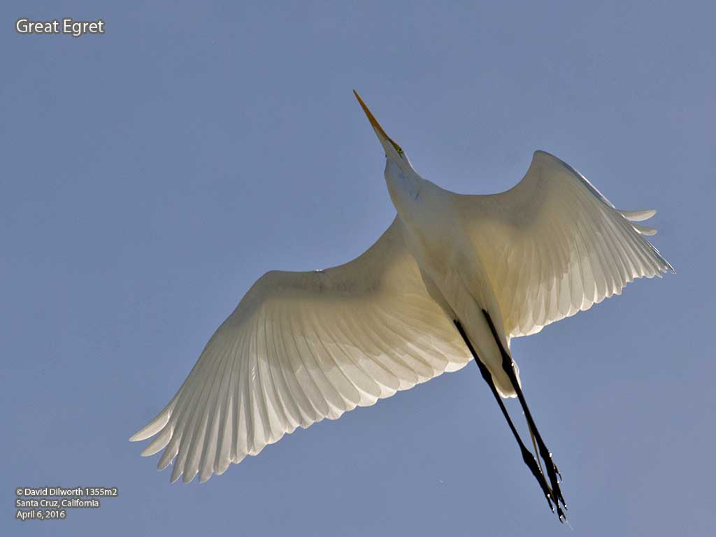 1355m2 Great Egret