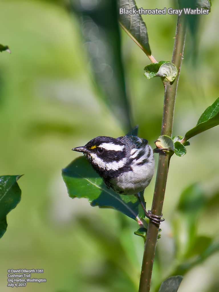 1361 Black-throated Gray Warbler