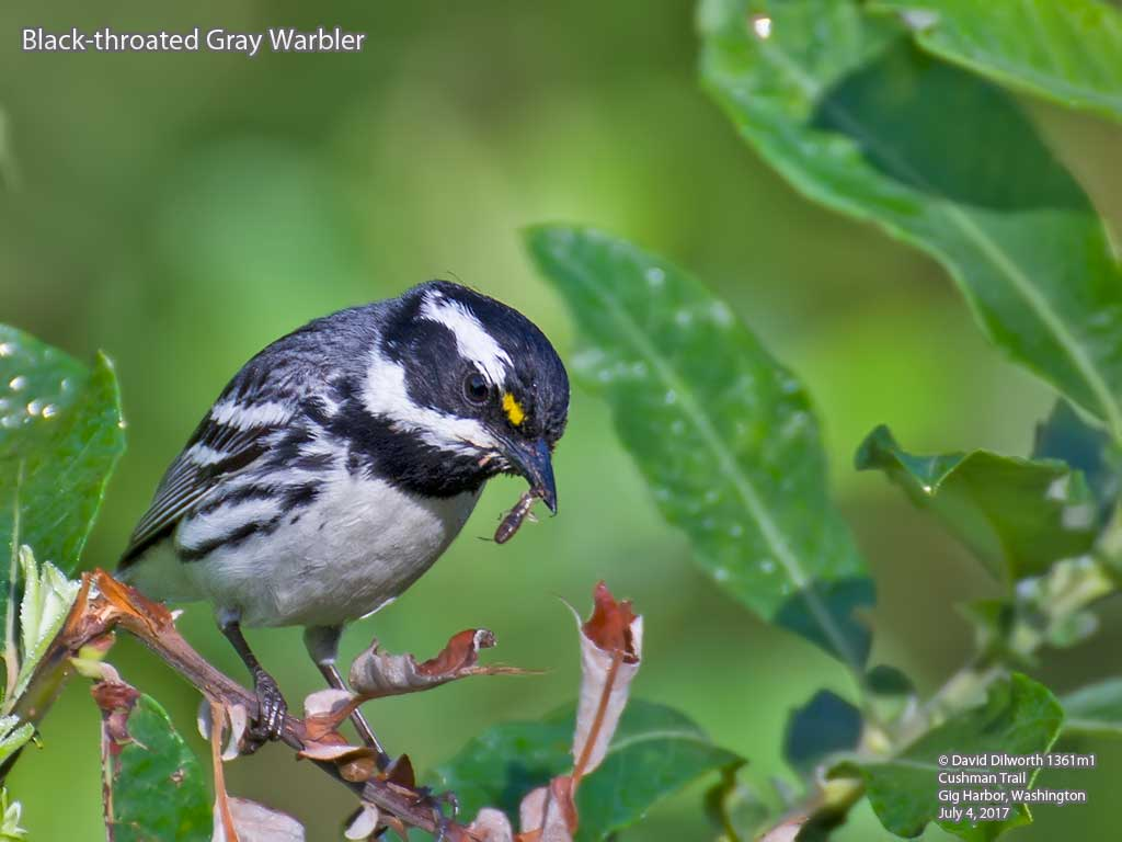 1361m1 Black-throated Gray Warbler