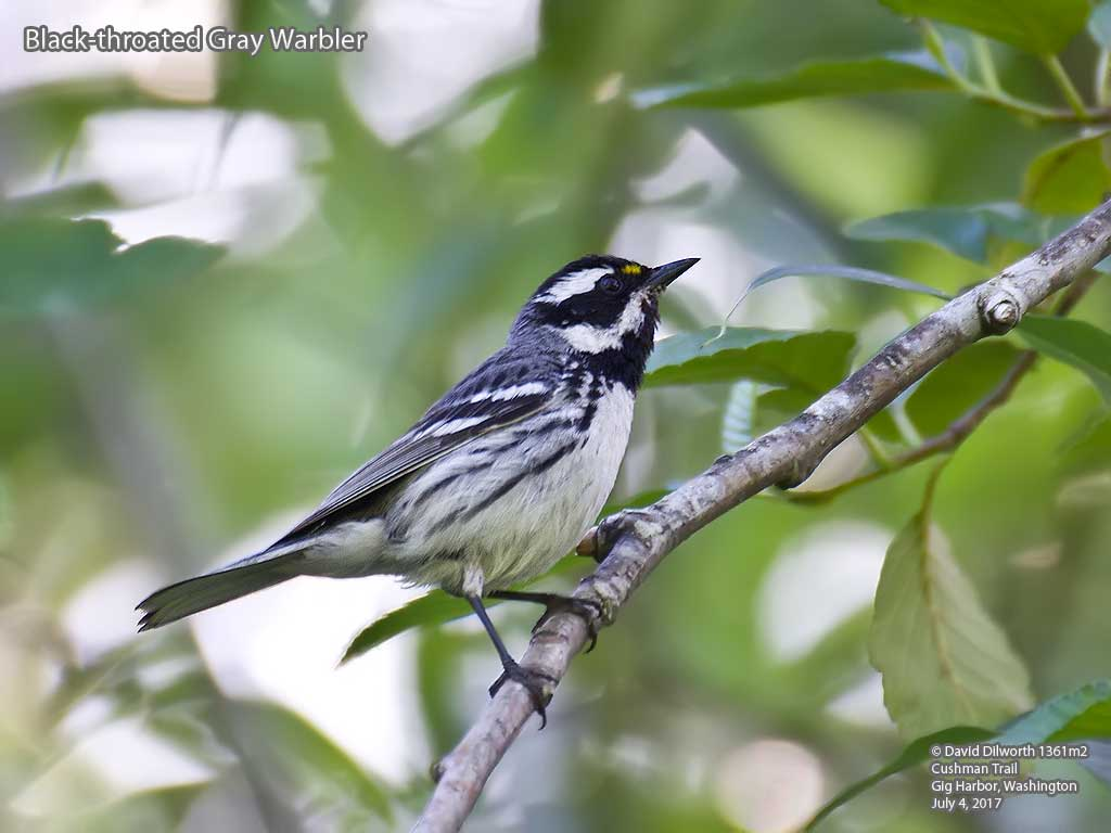 1361m2 Black-throated Gray Warbler