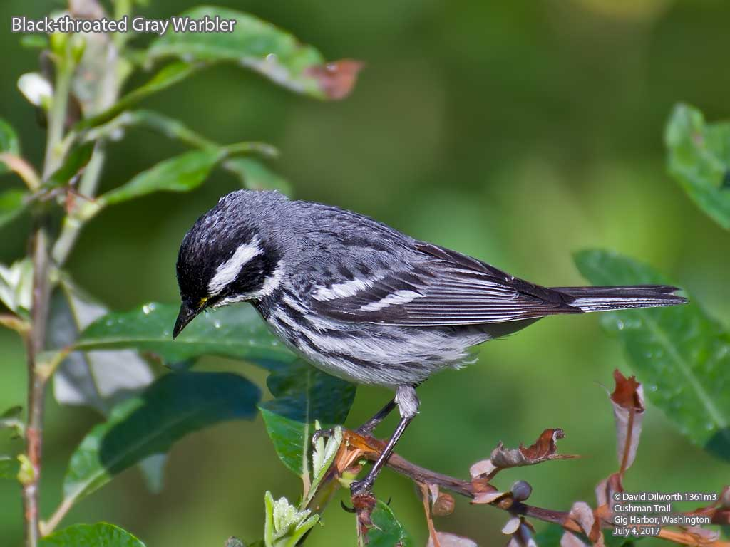1361m3 Black-throated Gray Warbler