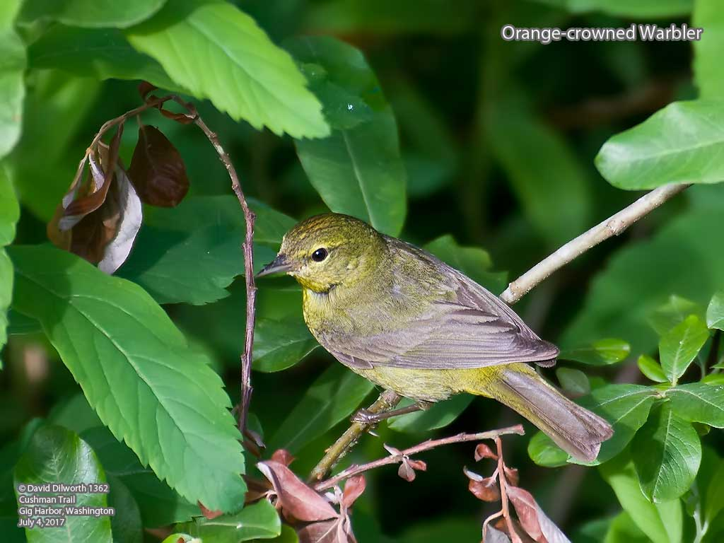1362 Orange-crowned Warbler
