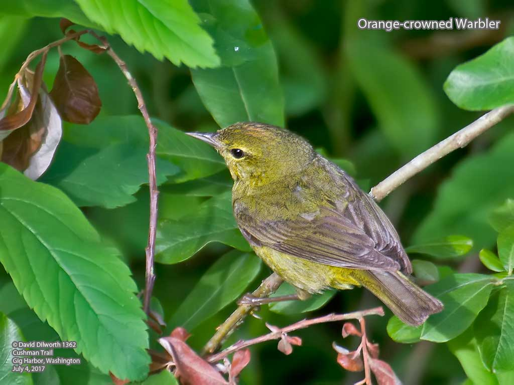 1362m1 Orange-crowned Warbler