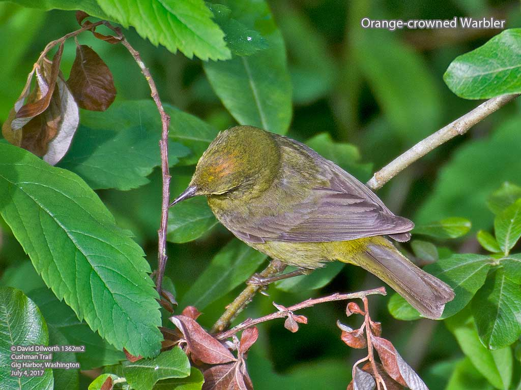 1362m2 Orange-crowned Warbler