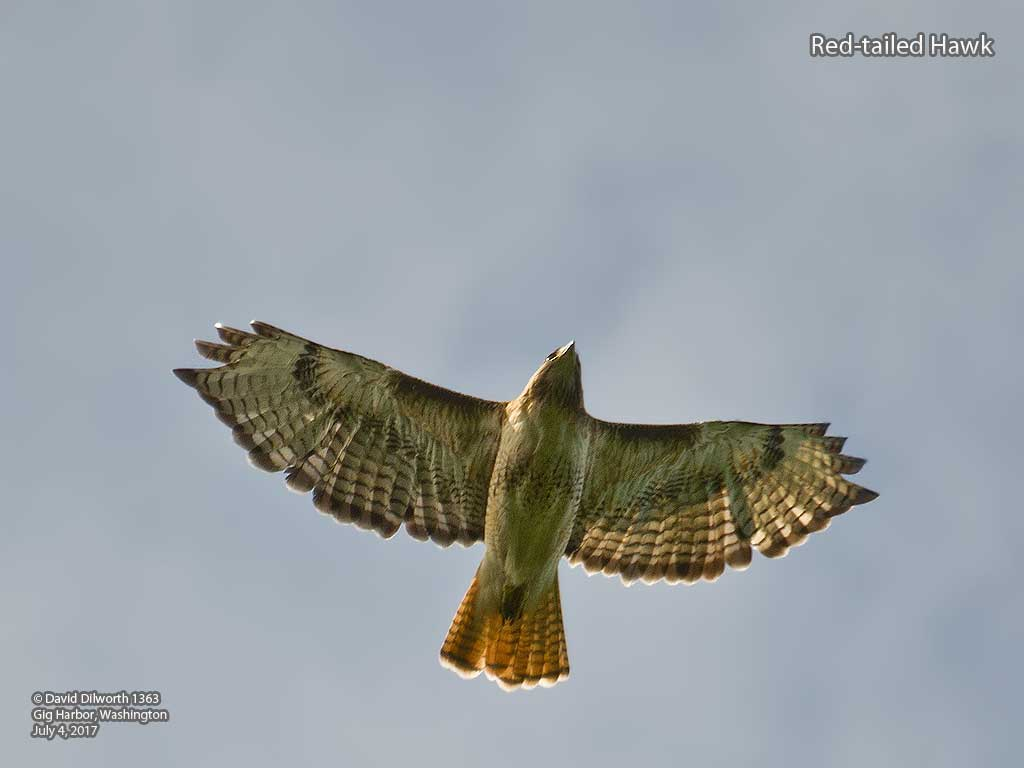 1363 Red-tailed Hawk