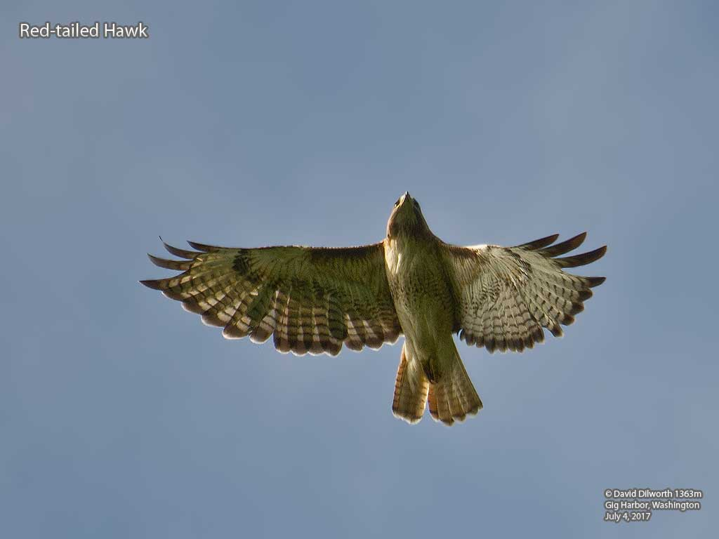 1363m Red-tailed Hawk
