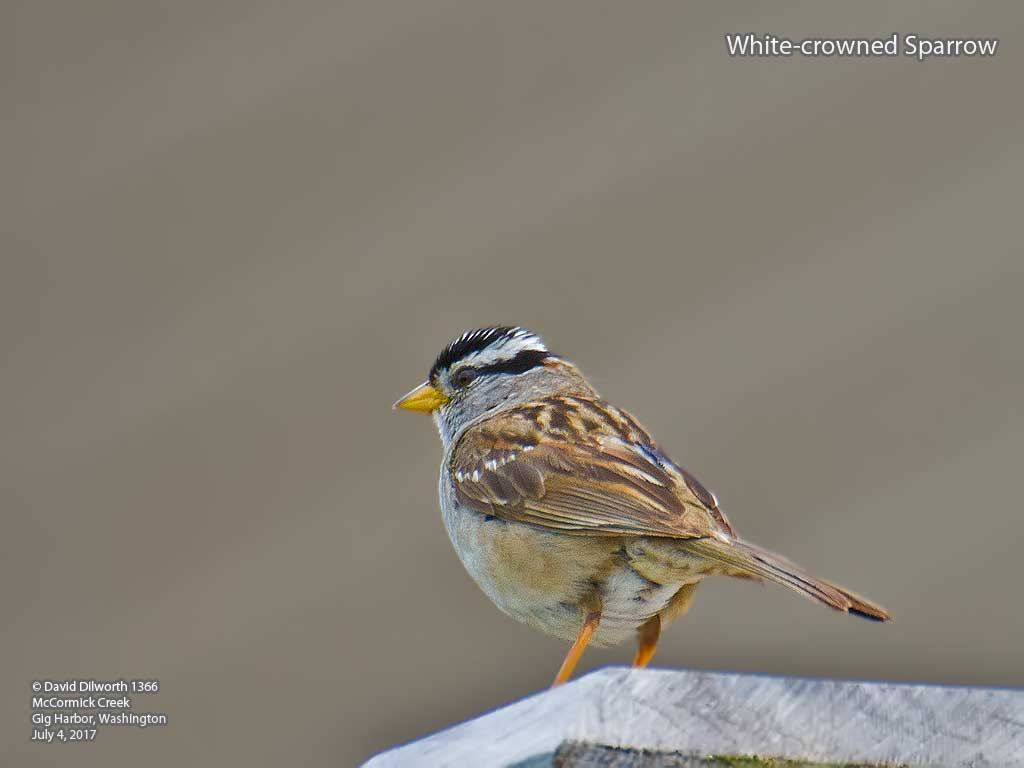 1366 White-crowned Sparrow
