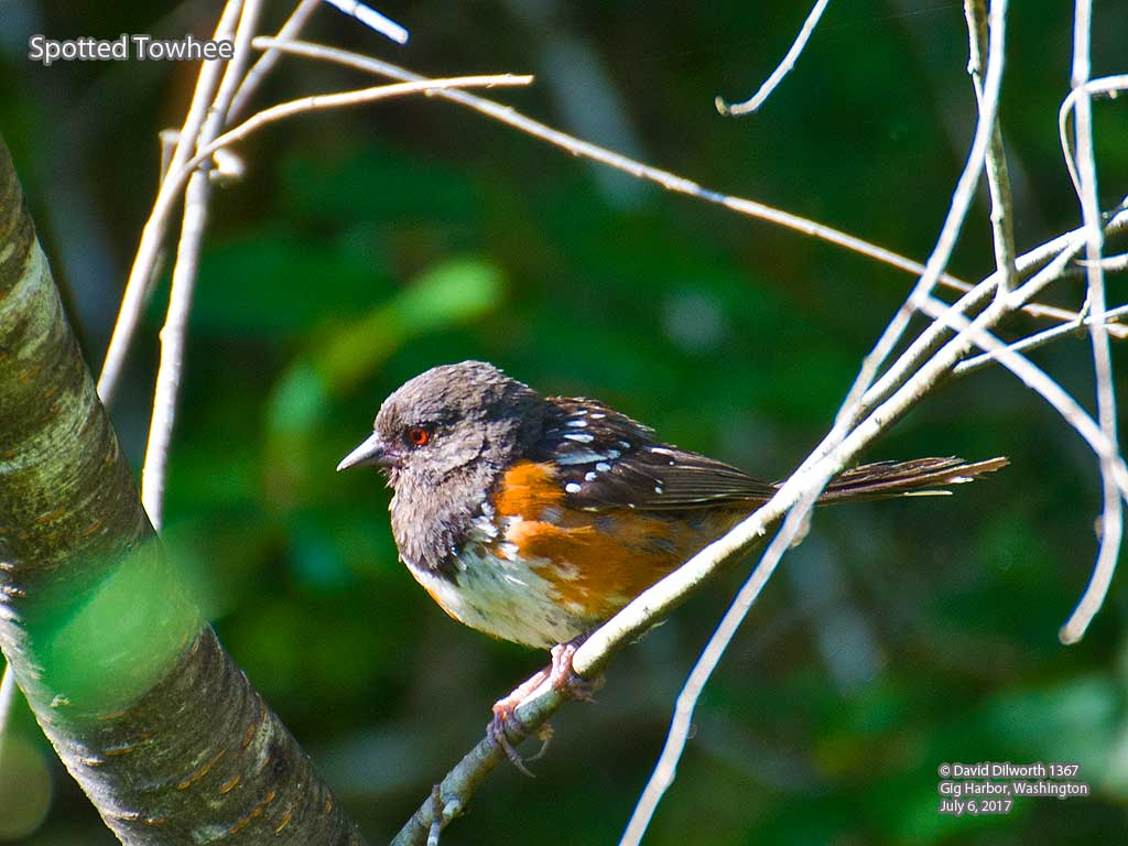 1367 Spotted Towhee