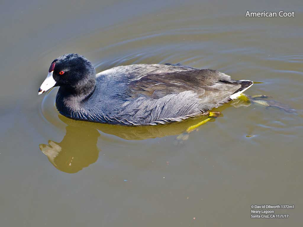 1372m1 American Coot