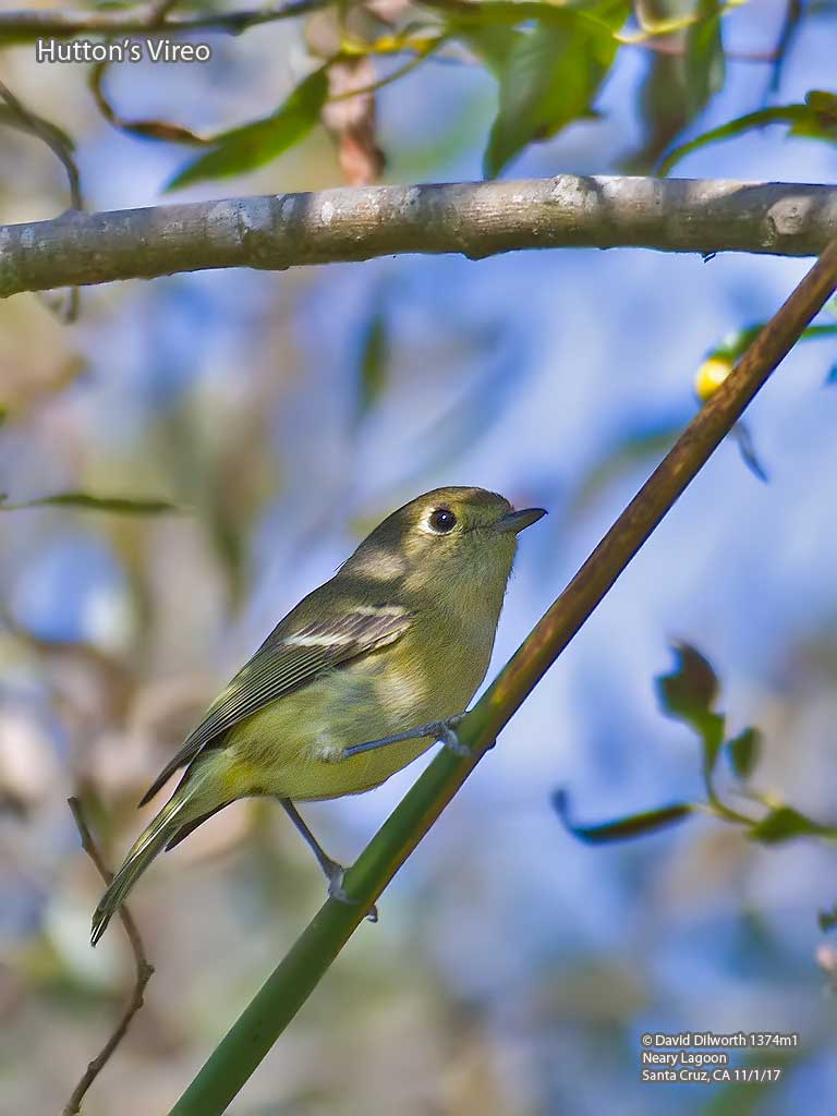 1374m1 Hutton's Vireo