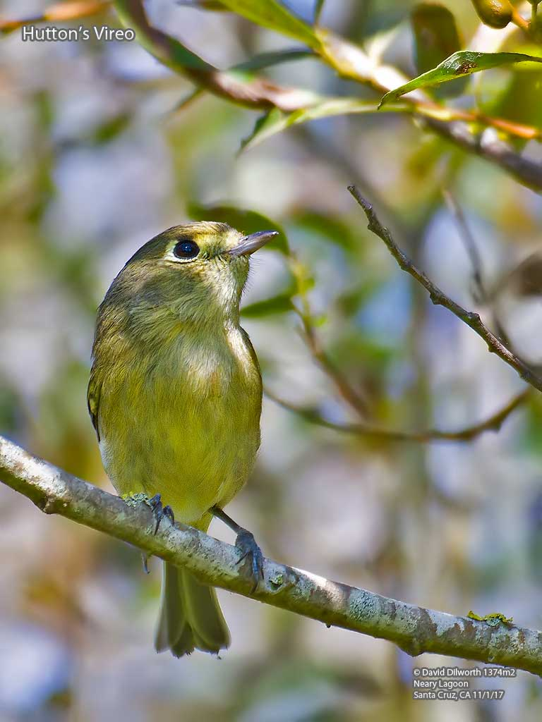 1374m2 Hutton's Vireo