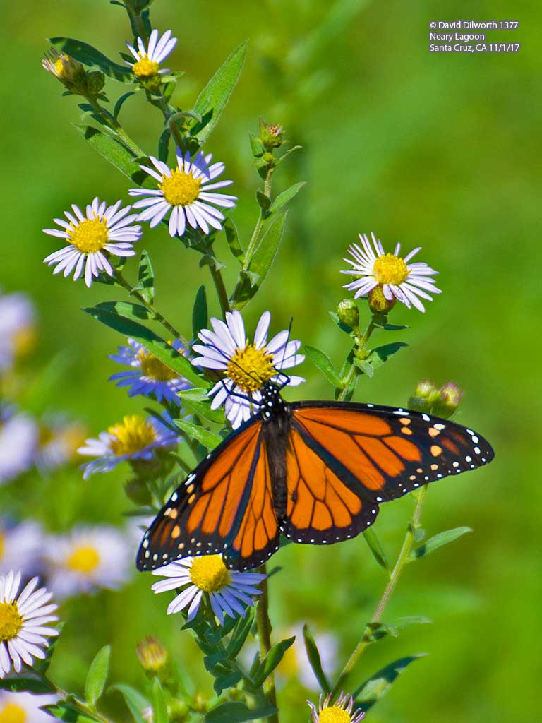 1377 Monarch Butterfly